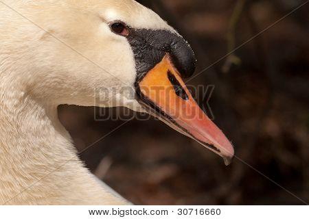 Un primer plano de un cisne