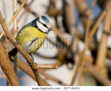 A Blue Tit In The Shrubbery