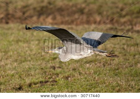 Great Blue Heron vuelo