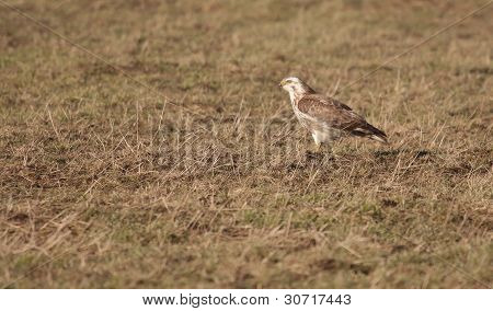 A Buzzard In A Field
