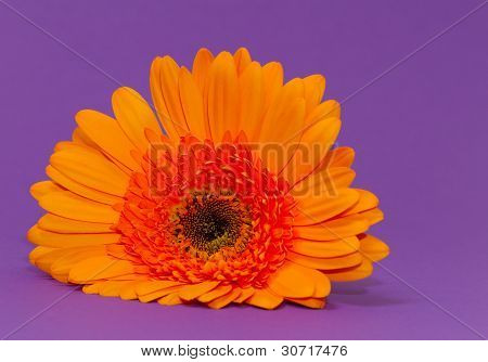 One Single Gerbera Flower