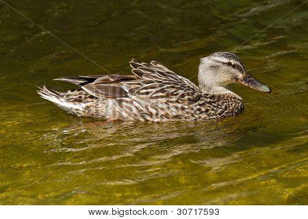 A Wild Duck