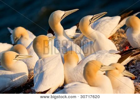 A Group Of Gannets