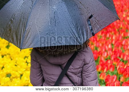Young Woman Hidding Under Grey Umbrella. Blurred Fields With Colorful Red And Yellow Tulips In Backg