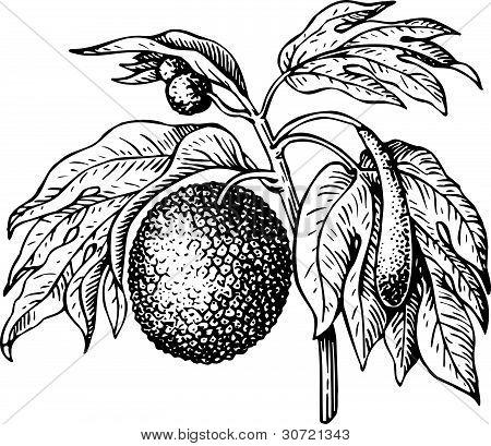 Artocarpus (bread fruit tree)