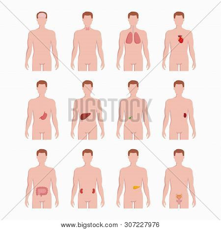 Internal Organs Placed On Man Body Silhouettes Isolated On White Background. Medical Illustrations O