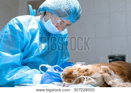 Veterinary dentistry. Dentist surgeon veterinarian cleans and treats a dog's teeth under anesthesia on the operating table in a veterinary clinic. Ultrasonic scaler in the hands of a close-up. poster