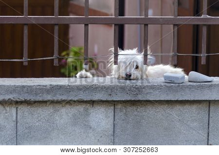 White Dog Is Guarding House And Looking At The Passersby. Cute Hound Behind Metal Fence Is Standing