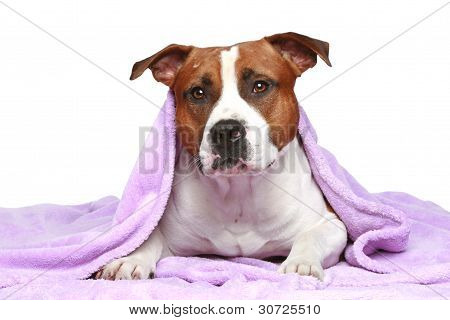 Staffordshire terrier lying under soft blanket on a white background poster