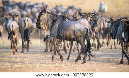 Herd of widlebeest emerge from the banks of the Mara river, during the annual great migration in Kenya.