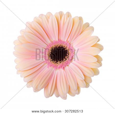 Gerbera  flower  isolated on white background.