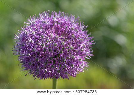 Purple King - Allium Jesdianum - Close-up View Against Green Background