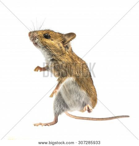 Dancing Wood Mouse (apodemus Sylvaticus) Isolated On White Background. This Cute Looking Mouse Is Fo