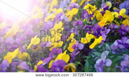Multicolor Pansy Flowers Or Pansies As Background Or Card.