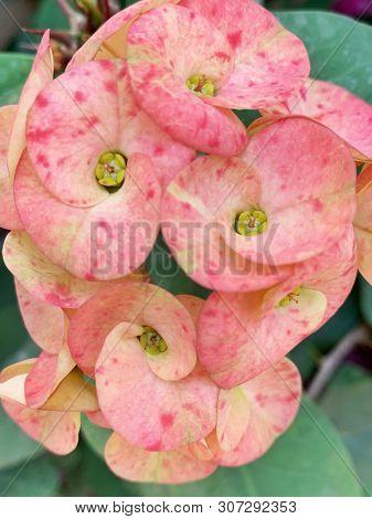 Pink euphorbia flowers in India