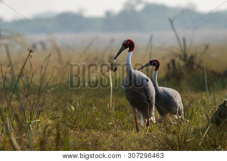 A nature painting and beautiful home decor scenery which is pleasing to eyes created by sarus crane or Grus antigone in early morning hours at keoladeo national park, bharatpur,rajasthan, india poster