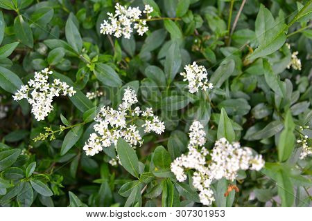 The Blossoming Bush A Privet Ordinary (ligustrum Vulgare L.)
