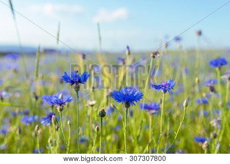 Beautiful Blue Cornflower Centaurea Cyanus. Beautiful Flowers With Blue Bloom In Summer Meadow, Summ