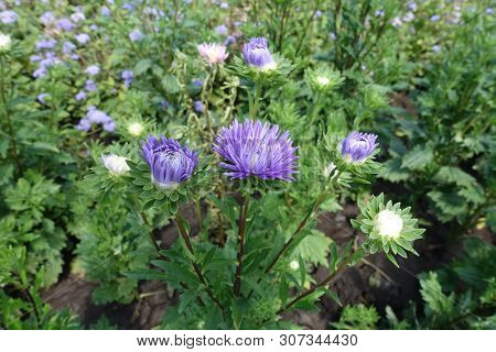 Florescence Of Violet China Aster In The Garden