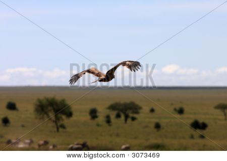 Hawk über African Plains