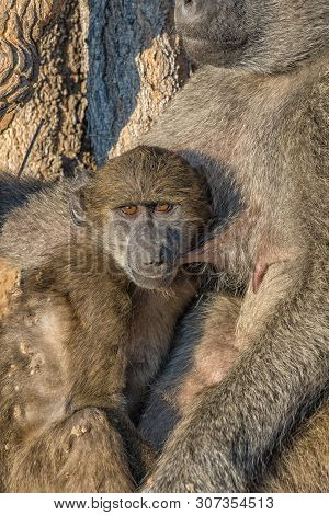 A Young Chacma Baboon, Papio Ursinus, Suckling While Its Mother Is Sleeping
