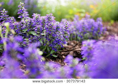 Closeup On Purple Ajuga