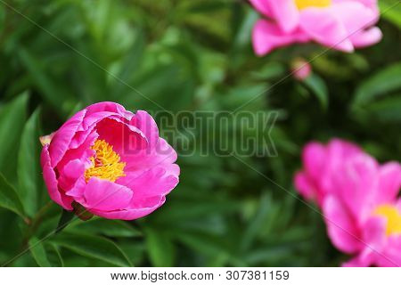 Danging Butterfly Bright Pink Peony Flower In Garden With Blurred Background