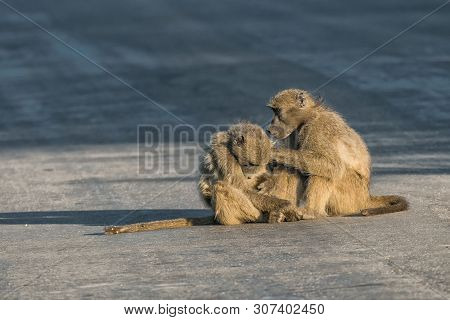 A Chacma Baboon, Papio Ursinus, Grooming Another Baboon