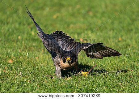 The Peregrine Falcon, Falco Peregrinus Also Known As The Peregrine And Historically As The Duck Hawk