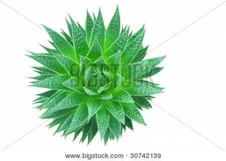poster of fresh green aloe vera from top view