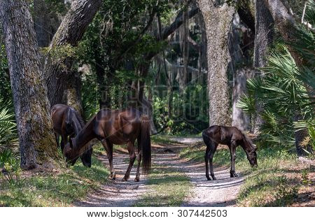 Wild Horses Graze By A Road At Cumberland Island National Seashore.