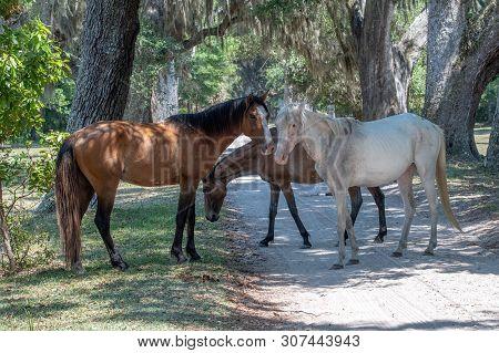 Wild Stallions At Cumberland Island National Seashore.