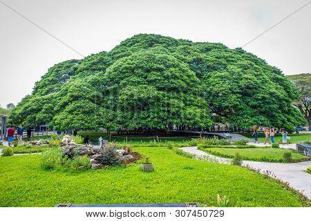 Kanchanaburi, Thailand - April 28, 2019 : A Giant Rain Tree (chamchuri Tree), Kanchanaburi District,