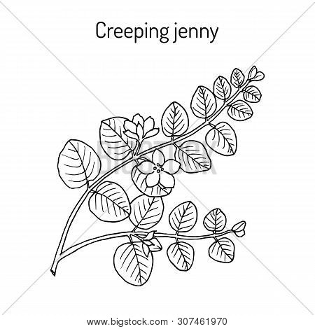 Creeping Jenny, Moneywort, Herb Twopence Or Twopenny Grass Lysimachia Nummularia , Medicinal Plant.