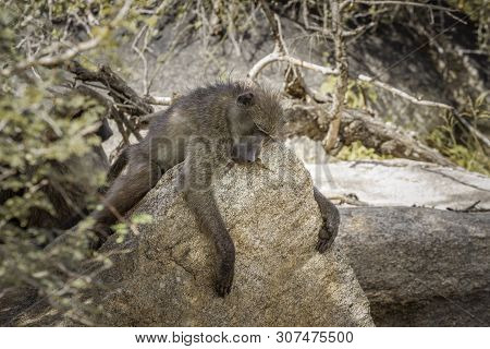 Chacma Baboon Sleeping On A Rock In Kruger National Park, South Africa ; Specie Papio Ursinus Family