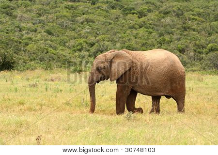 Young African elephant, South Africa.