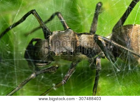 Macro Photography of Ant Mimic Jumping Spider in Web on Green Leaf poster
