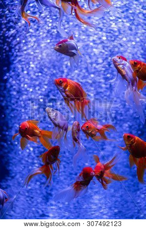 Nice Red Gold Fish Swarm In Air Bubbles Blue Background Nature Aquarium