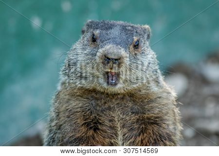 Adorable Small Funny Young Groundhog (marmota Monax) Closeup Faces Front With Mouth Open