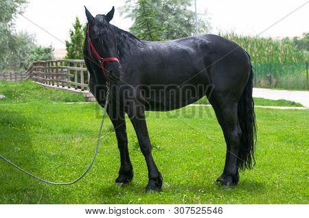 Portrait Of Black Friesian Horse In Spring