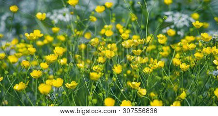 Summer Landscape With Meadow Flowers Buttercups. Closeup Of Buttercups. Summer Floral Background.