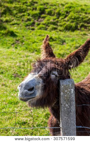 Funny Happy Donkey Scratching. Sunny Day. Close Up.