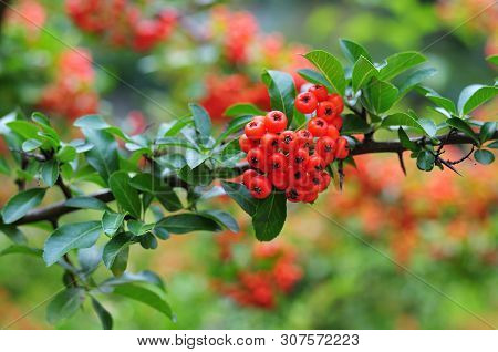 Branch Of A Firethorn, Pyracantha, With Green Leaves And Thorny Stem And Bright Red Berry-like Fruit