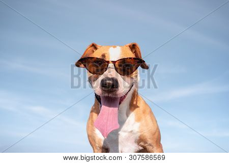 Funny Dog In Sunglasses Portrait. Cute Staffordshire Terrier Posing In Retro Eyeglasses And Smiling,