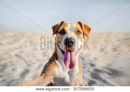 Happy Smiling Dog Taking Self Portrait On The Beach. Portrait Of A Cute Staffordshire Terrier Imitat