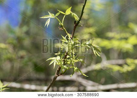 Flowers Of A Bitternut Hickory, Carya Cordiformis.