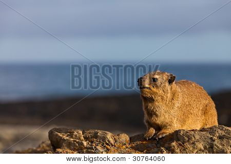 Hyrax On A Rock In Close Up