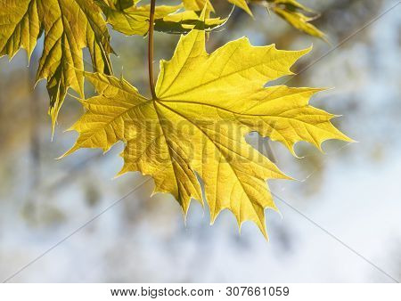 Close-up Of New Yellow Maple (acer) Leaf Growing At Spring