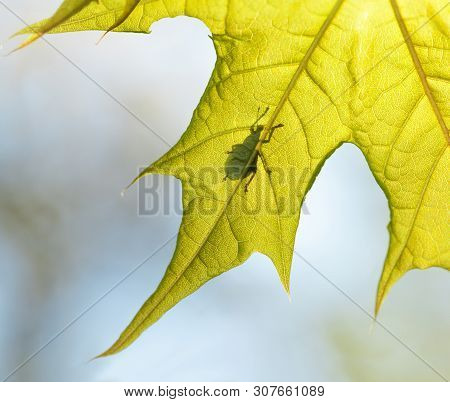 Macro Of Beetle Silhouette On Maple Leaf Back Side, Backlit By Sun