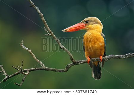 Stork-billed Kingfisher (pelargopsis Capensis) - Tree Kingfisher Distributed In The Tropical Indian